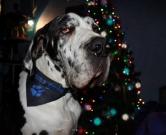 fekete kutya kendő, német dog