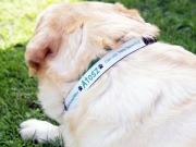 Labrador egyedi nyakörvében -Bol-dog.hu
