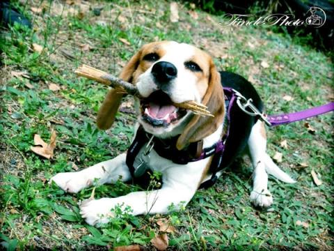 beagle, bol-dog, lombik kutya