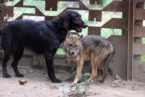 Aranysakál és kutya